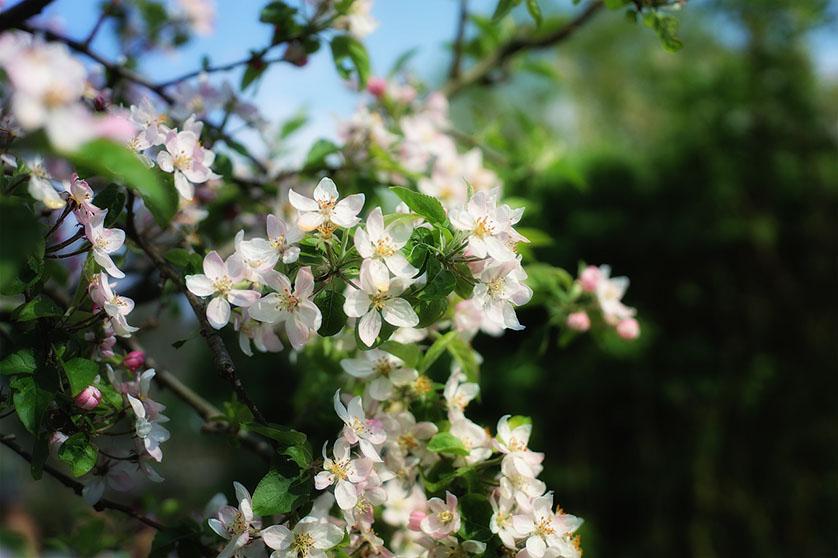 Apple blossom, Hastings.