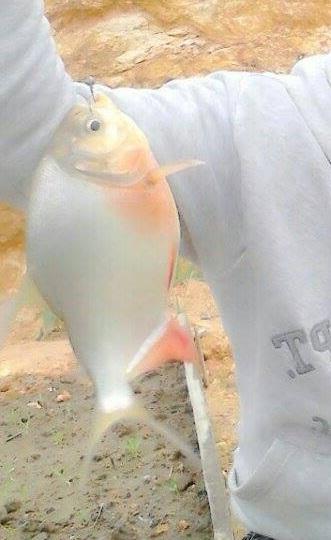 Umpan Ikan Mujair Babon : umpan, mujair, babon, Pilihan, Umpan, Mancing, Bawal, Babon