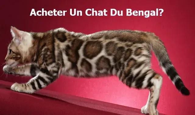 Acheter Un Chat Du Bengal