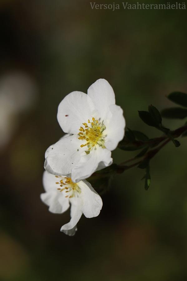 Valkoinen pensashanhikki