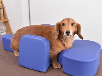 reabilitação de cães com mobilidade reduzida
