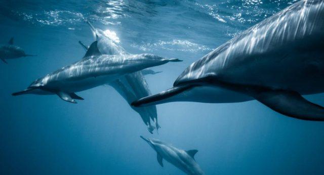 Σε κρίσιμη κατάσταση οι πληθυσμοί των κοινών δελφινιών του Κορινθιακού