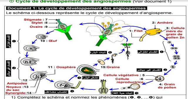 Les cycles de développement des plantes