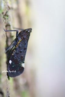 Black Lantern bugs