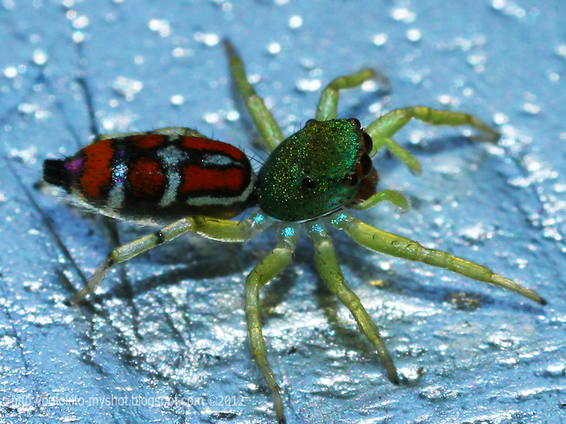 Colorful jumping spider - photo#29