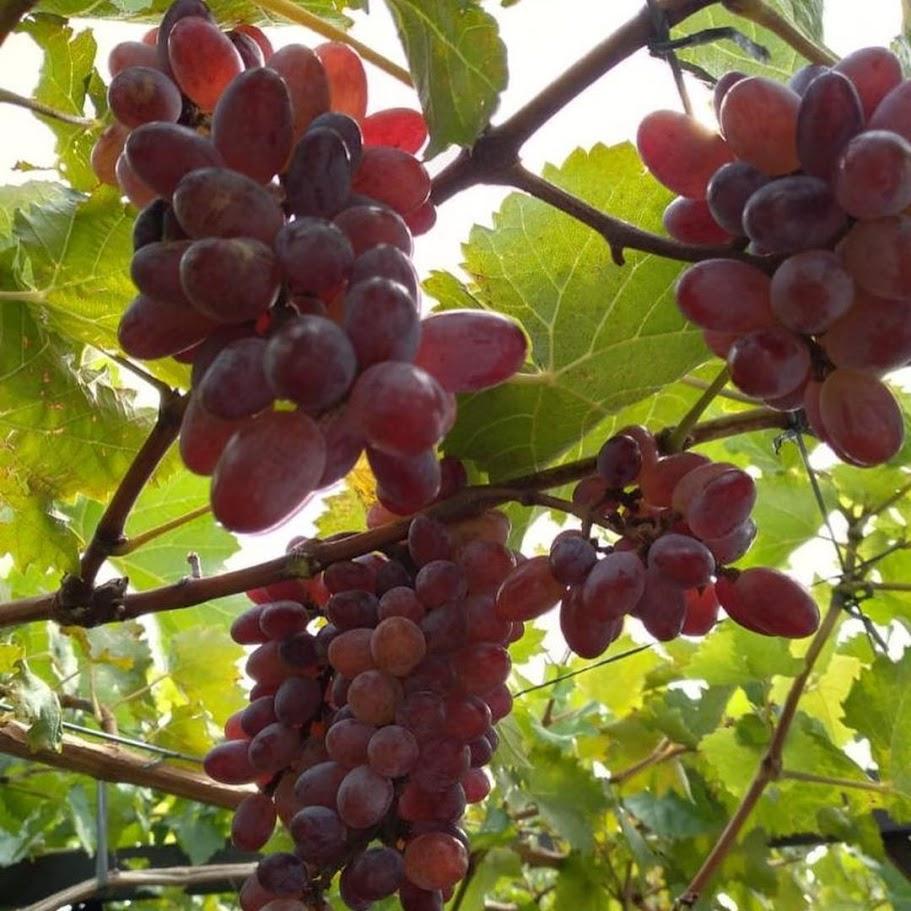 Bibit anggur Oscar VALID Sulawesi Utara