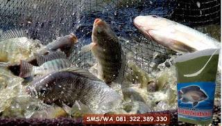 Umpan Ikan Nila Khusus Untuk Musim Hujan