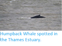 https://sciencythoughts.blogspot.com/2019/10/humpback-whale-spotted-im-thames-estuary.html