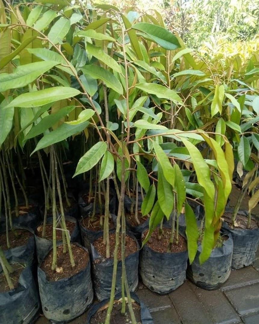 bibit durian merah kaki 3 super Sulawesi Selatan