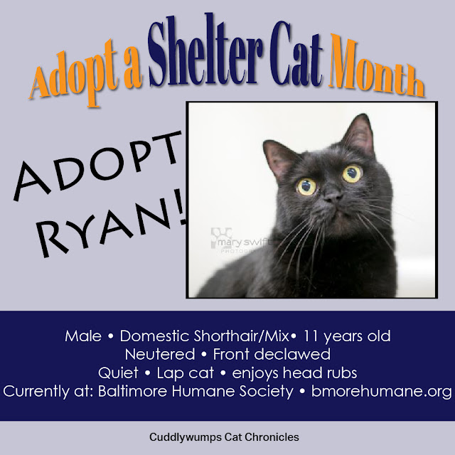 Adopt Ryan the Cat--Baltimore Humane