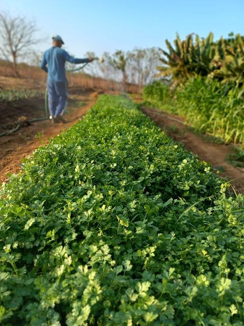 Presos cultivam hortaliças orgânicas para instituições humanitárias na Penitenciária Mário Negócio em Mossoró