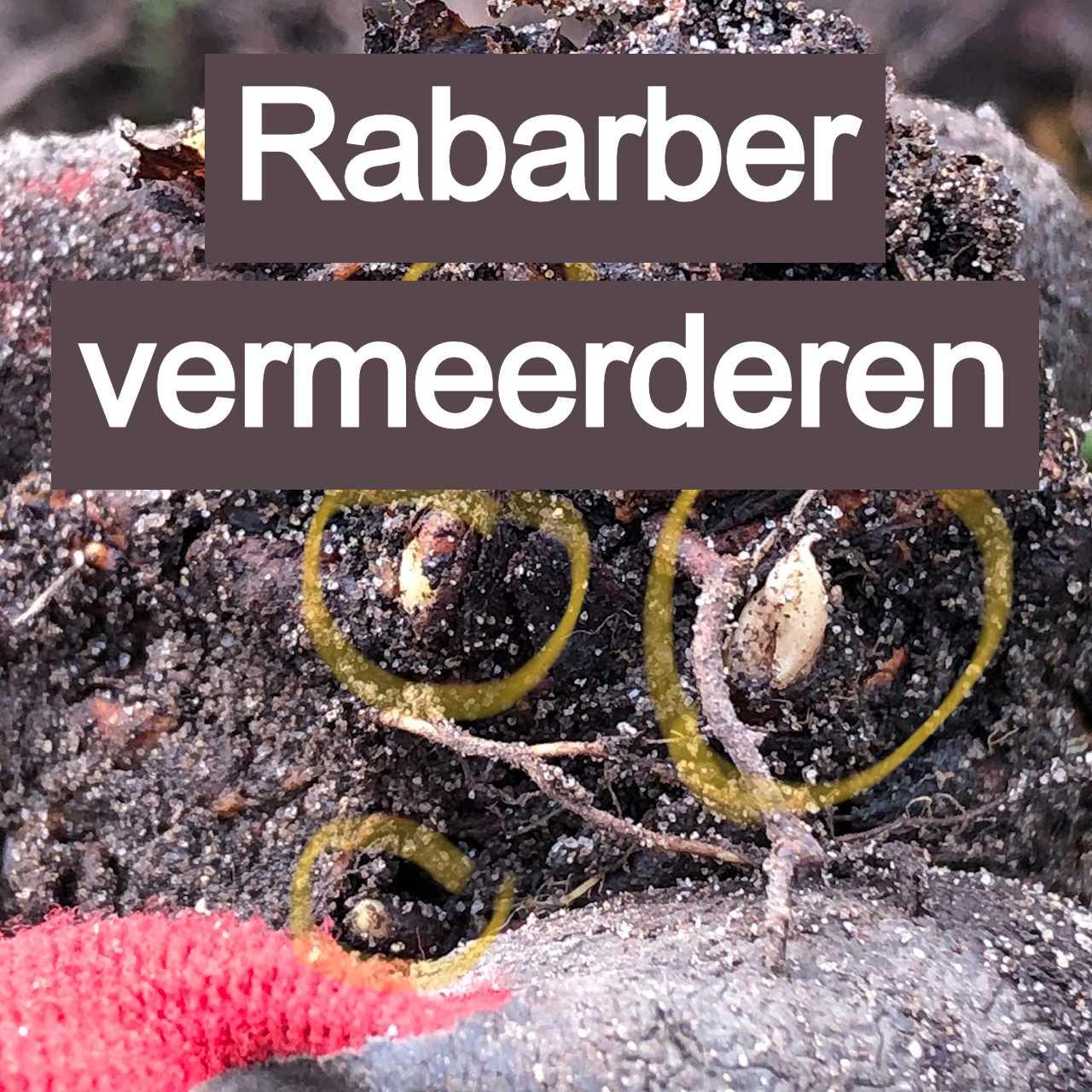 rarbarber vermeerderen moestuin najaar november