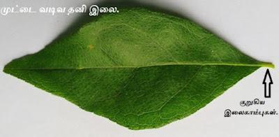 Curry Leaf  tree_single leaf