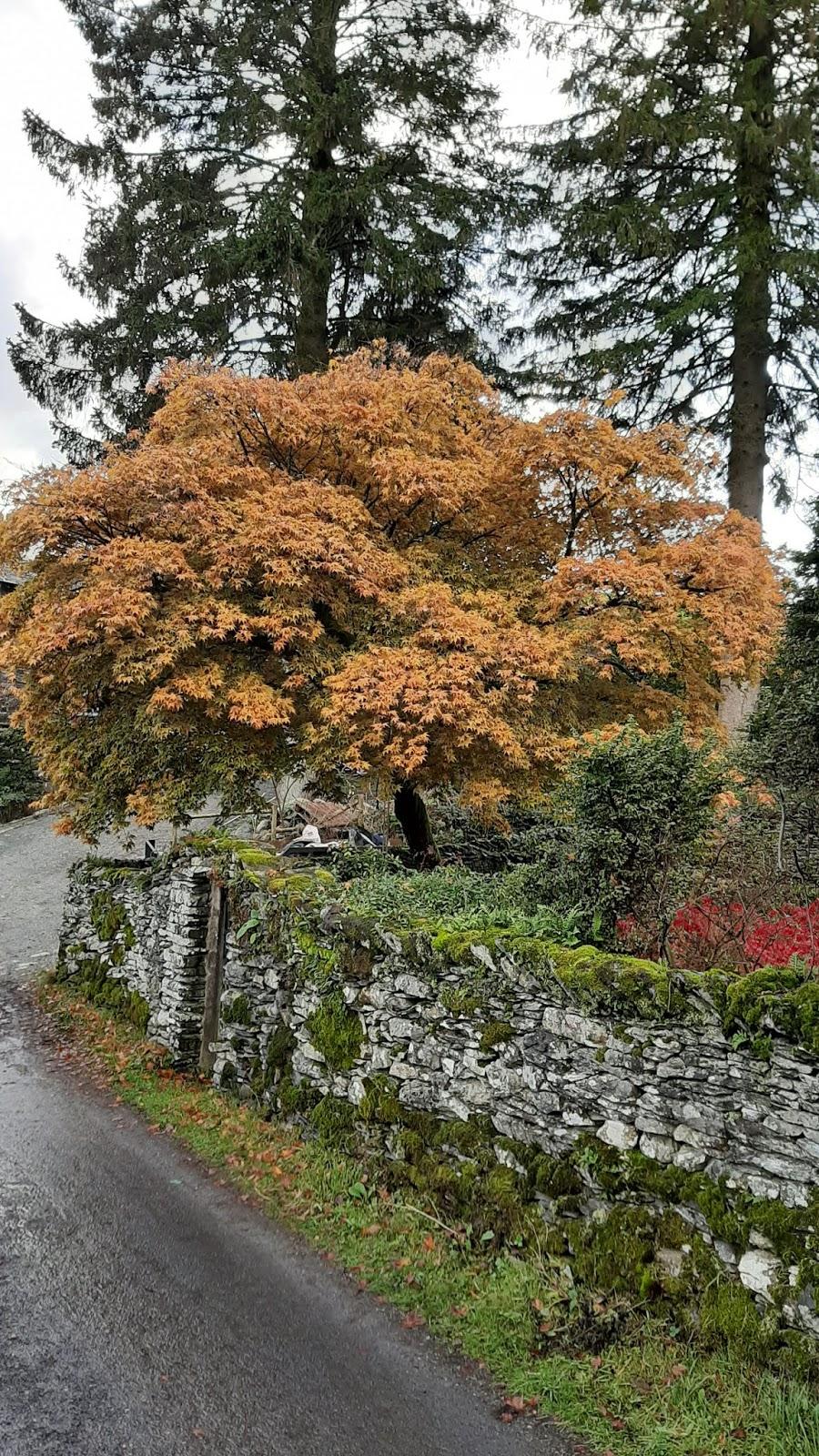 Acero Giapponese Verde cagliari in verde: lo splendore del foliage nella cumbria