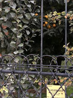 Orange trees in Jardin du Luxembourg