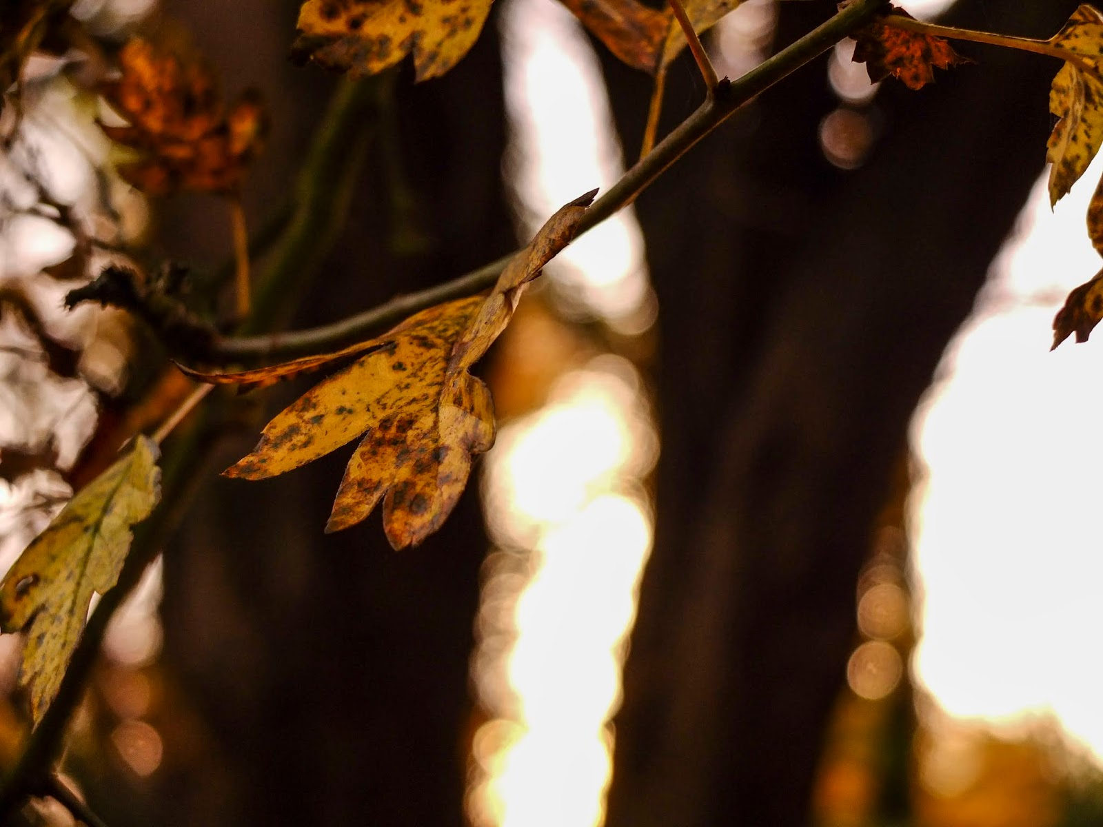 Autumn leaves on tree branches at sunset in North Cork.