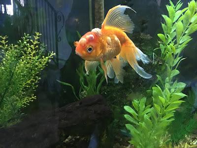 goldfish with carp pox