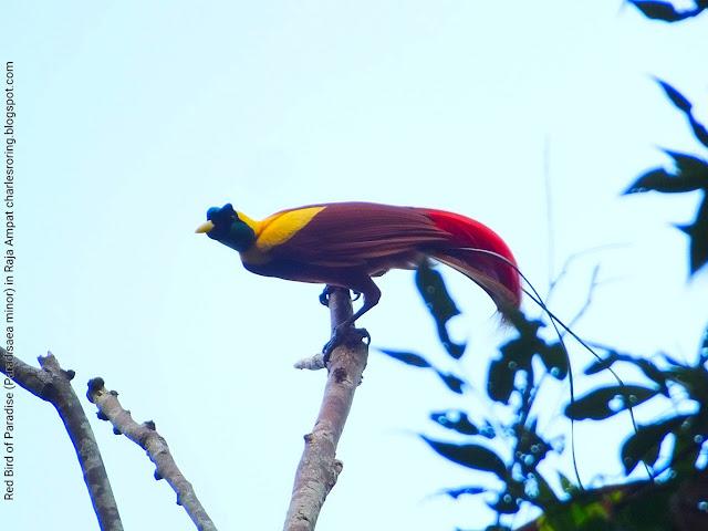 Watching paradise bird in Waigeo island of Raja Ampat