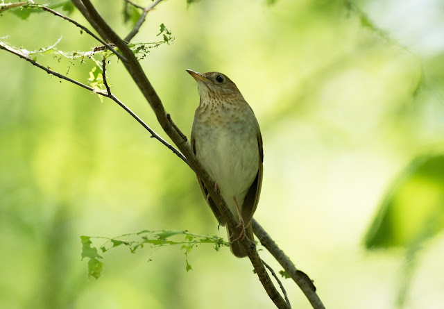 Veery - Hulbert Bog, Michigan, USA