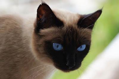 القطط السيامية Siamese cat