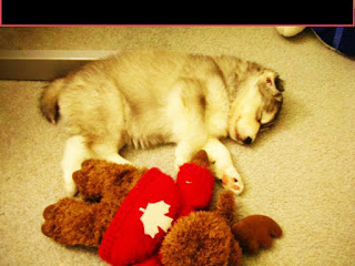 Husky That Was Raised With Cats Now Thinks She's A Cat | Top13