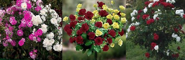 Dvobojne (na jednom stablu kalemljene dve boje ruže)