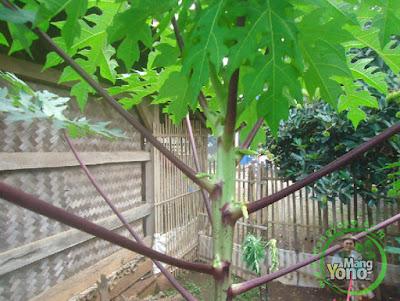 Pepaya Berbatang Ungu di kebun belakang rumah saya