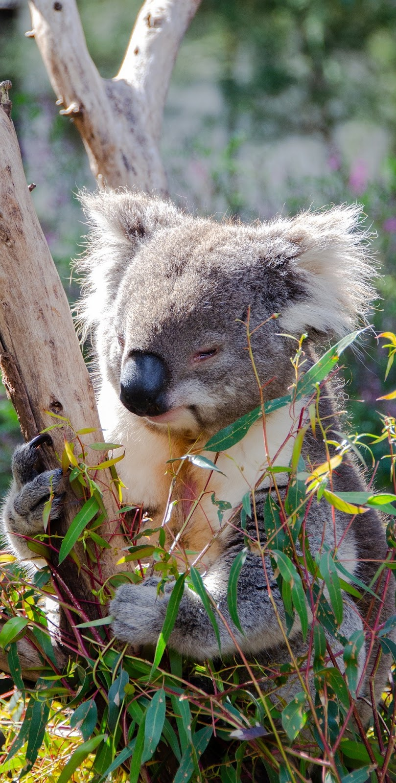 A koala eating eucalyptus tree leaves.