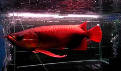 blood red arwana