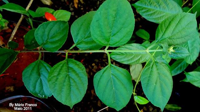 Folhas CHAPÉU-CHINÊS - (  Holmskioldia sanguinea )