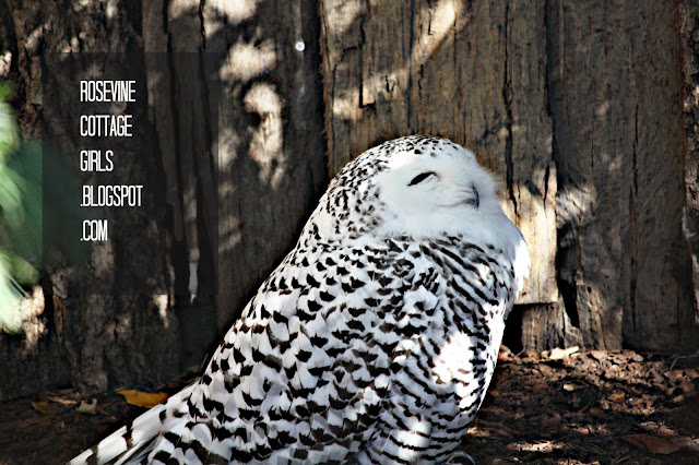 Snowy Owl, Nashville Zoo, (C) Rosevine Cottage Girls