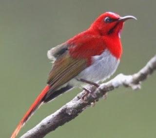 Jenis - Jenis Burung Kholibri Serta Penyebarannya Berikut Dengan Gambarnya.