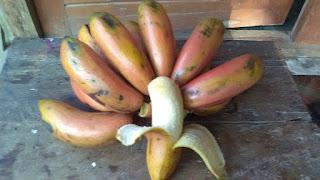 pisang, pisang merah, red dacca, pisang genderuwo, red cubban