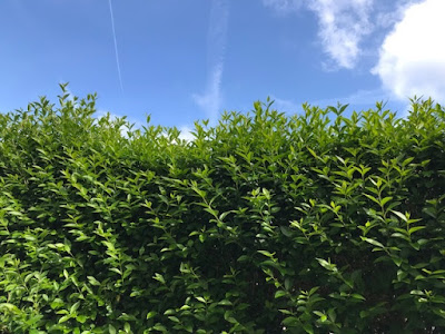 Hedge that needs cutting