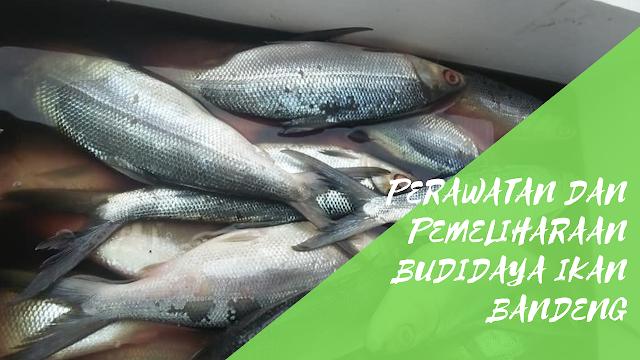 Perawatan dan Pemeliharaan Dalam Budidaya Ikan Bandeng