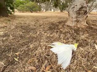 Australian Bushfires, parrot