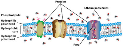EFFECT OF ALCOHOL ON THE MEMBRANES