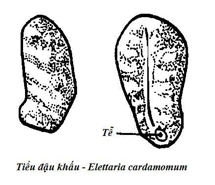 Tiểu Đậu khấu - Amomum cardamomum - Nguyên liệu làm thuốc Chữa Bệnh Tiêu Hóa
