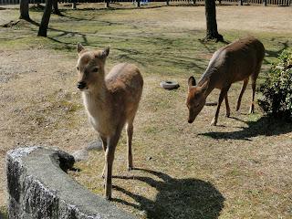 興福寺の鹿