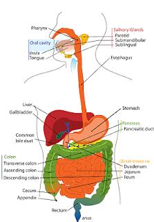 تحسين عملية الهضم