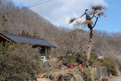 工芸と喫茶ひとつ石の古民家の立派な松を伐採 丁寧な仕事