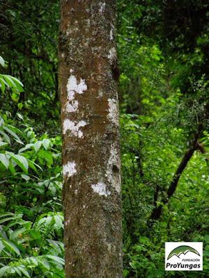 tronco de Cupania vernalis