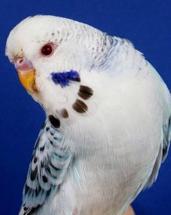 parakeet fallow