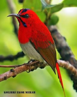 Burung Madu Ekor Merah