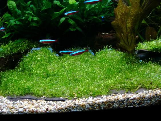 Hướng dẫn trải nền bằng rêu Ricca thủy sinh - rêu Ricca bắt đầu phát triển
