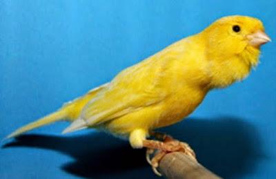 Tips Perawatan Burung Kenari