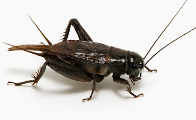 My arch enemy... the crafty cricket!!
