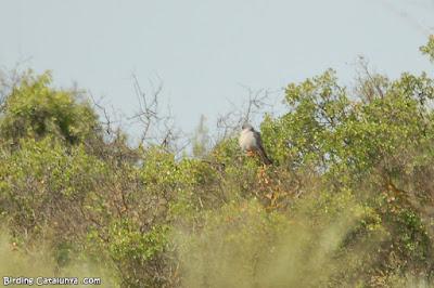 Mascle de falcó cama-roig (Falco vespertinus)