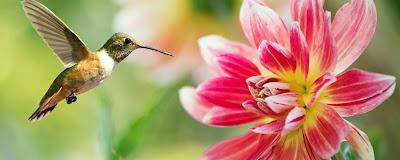 Colibri qui vole et butine une fleur tropicale