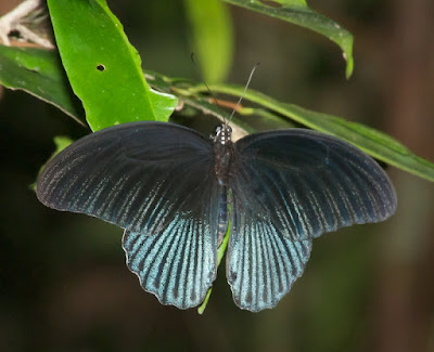 Great Mormon (Papilio memnon)